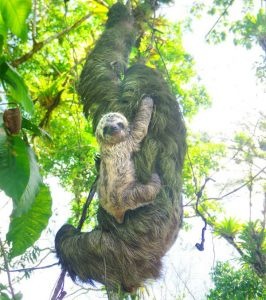 Sloth Baby Costa Rica Adventure
