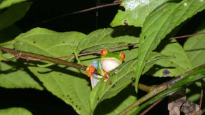 Red Eyed Frog on Tree