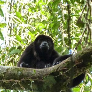 Howler Monkey in Costa Rica Adventure