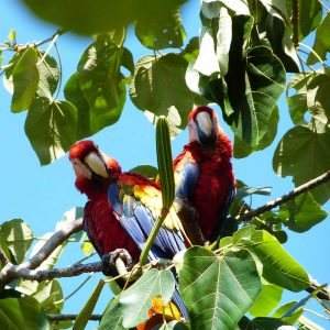 Macaws in Costa Rico